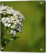 Wild Field Flowers Acrylic Print
