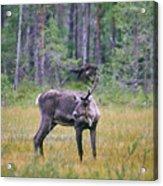 Wild Finnish Forest Reindeer 24 Acrylic Print
