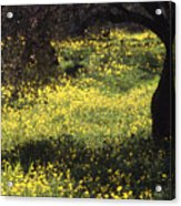 Wild Flowers In An Olive Grove Acrylic Print
