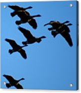 Wild Geese In The West Acrylic Print