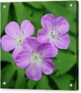 Wild Geranium Triplet  Acrylic Print