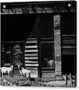 Wild Goats Ghost Town White Oaks New Mexico 1968 Acrylic Print
