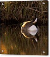 Wild Goose Acrylic Print