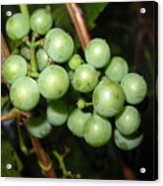 Wild Grapes In August Acrylic Print