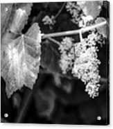 Wild Grapes In Light 2 Acrylic Print