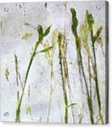 Wild Grass 2 Acrylic Print