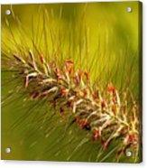 Wild Grass 4 Acrylic Print