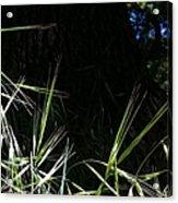 Wild Grass In The Sunlight Acrylic Print