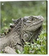 Wild Green Iguana Iguana Iguana At Los Acrylic Print