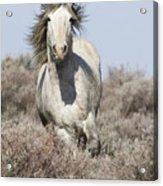 Wild Grey Stallion Runs Close Acrylic Print by Carol Walker