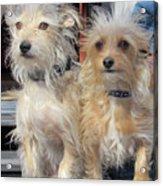 Wild Hair Dogs Acrylic Print