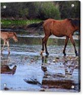 Wild Horse And Foal Cross Salt River Acrylic Print