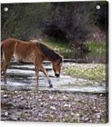 Wild Horse Crosses Salt River Acrylic Print