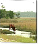 Wild Horse In Saltmarsh Acrylic Print