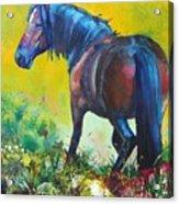 Wild Horse On Dartmoor - Roaming Free Acrylic Print