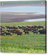 Wild Horses #34 Acrylic Print