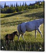 Wild Horses Near Glacier National Park Acrylic Print