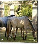 Wild Horses Of Cumberland Acrylic Print