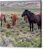 Wild Horses Of White Mountain Acrylic Print