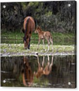 Wild Horses Reflected In The Salt River Acrylic Print