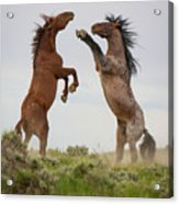 Wild Horse Challenge Acrylic Print