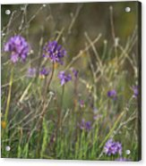 Wild Hyacinth At Sunset Acrylic Print