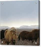 Wild Icelandic Toelter Horses Acrylic Print