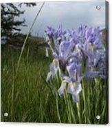 Wild Iris II Acrylic Print