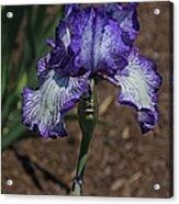 Wild Iris Ridge Acrylic Print