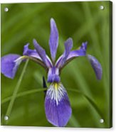Wild Iris Acrylic Print
