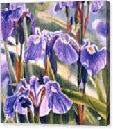 Wild Irises #1 Acrylic Print by Sharon Freeman