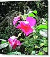 Wild Irish Rose Acrylic Print