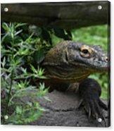 Wild Komodo Dragon Creeping Through Fallen Trees Acrylic Print