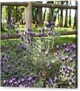 Wild Lavender Acrylic Print