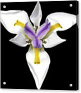 Wild Lily Acrylic Print