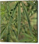 Wild Marijuana Leaves Near Burwell, Ne Acrylic Print