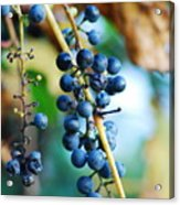 Wild Michigan Grapes Acrylic Print