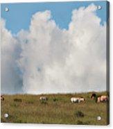 Wild Mongolian Horses Acrylic Print