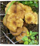 Wild Mushrooms 1 Acrylic Print