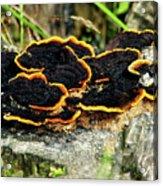 Wild Mushrooms Growing On Tree Trunk Acrylic Print