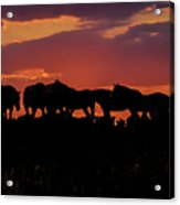 Wild Mustangs At Sunset Acrylic Print