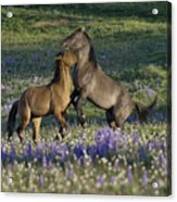 Wild Mustangs Playing 2 Acrylic Print