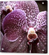 Wild Orchid 1 Acrylic Print