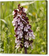 Wild Orchid In Meadow  Acrylic Print