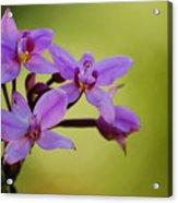 Wild Orchids 2 Acrylic Print