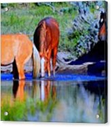 wild Palomino stallion of the Great Basin Country  Acrylic Print