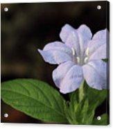 Wild Petunia Acrylic Print