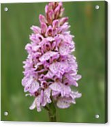 Wild Pink Spotted Orchid Acrylic Print