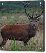 Wild Red Deer Stag Acrylic Print