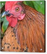 Wild Rooster Acrylic Print